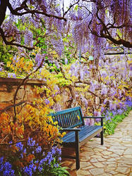 The beautiful wisteria in May