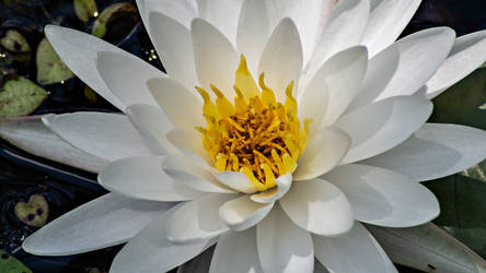 American White Water-lily WP