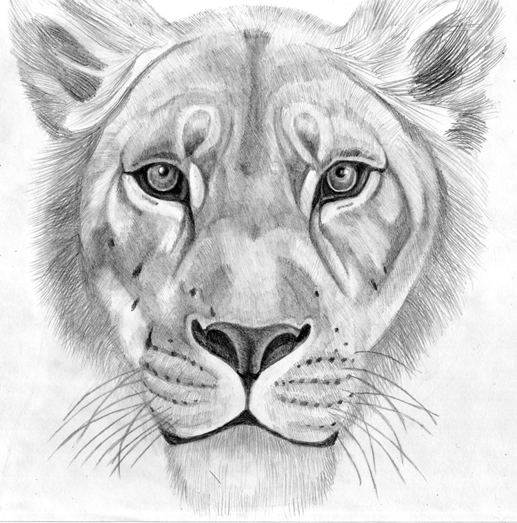 Queen Lioness by G-Smilodon on DeviantArt Queen Lioness Drawing
