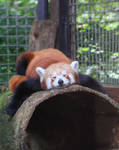 Red Panda Stock by SilverRiverStock