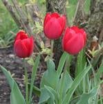 Red Tulip Stock