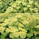 Golden saxifrage