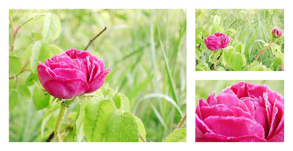 Rose by rosaarvensis