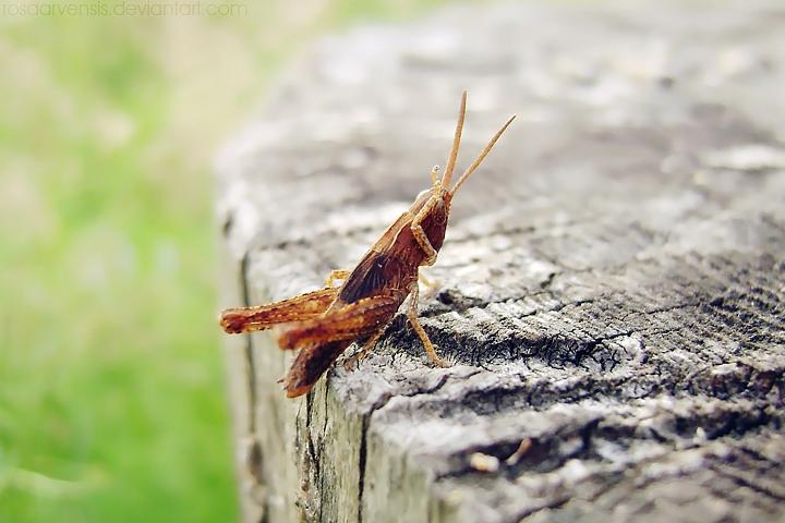 Grasshopper I by rosaarvensis