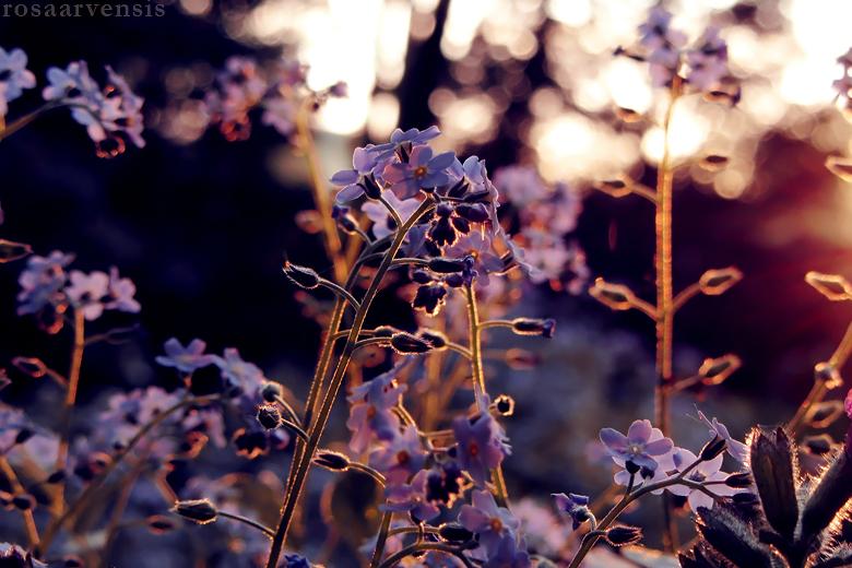 Forget-me-nots by rosaarvensis