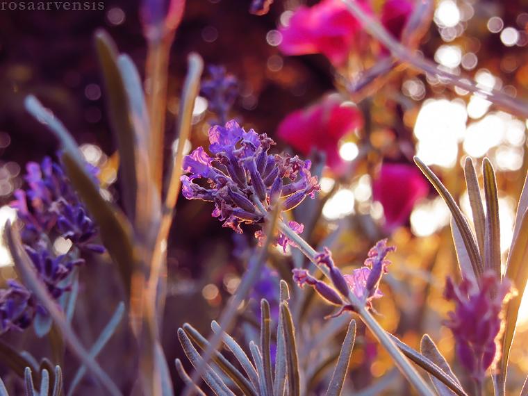 Lavender I by rosaarvensis