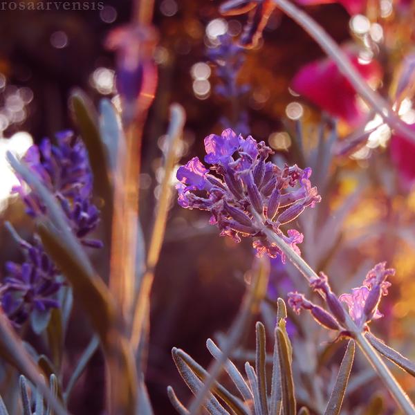 Lavender II by rosaarvensis