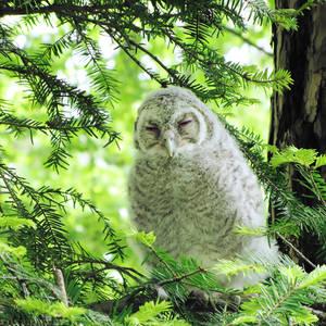 Owlet by rosaarvensis