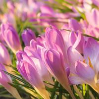 Crocus pretties by rosaarvensis