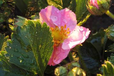 Fragaria by rosaarvensis