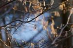 Winter hazel catkins