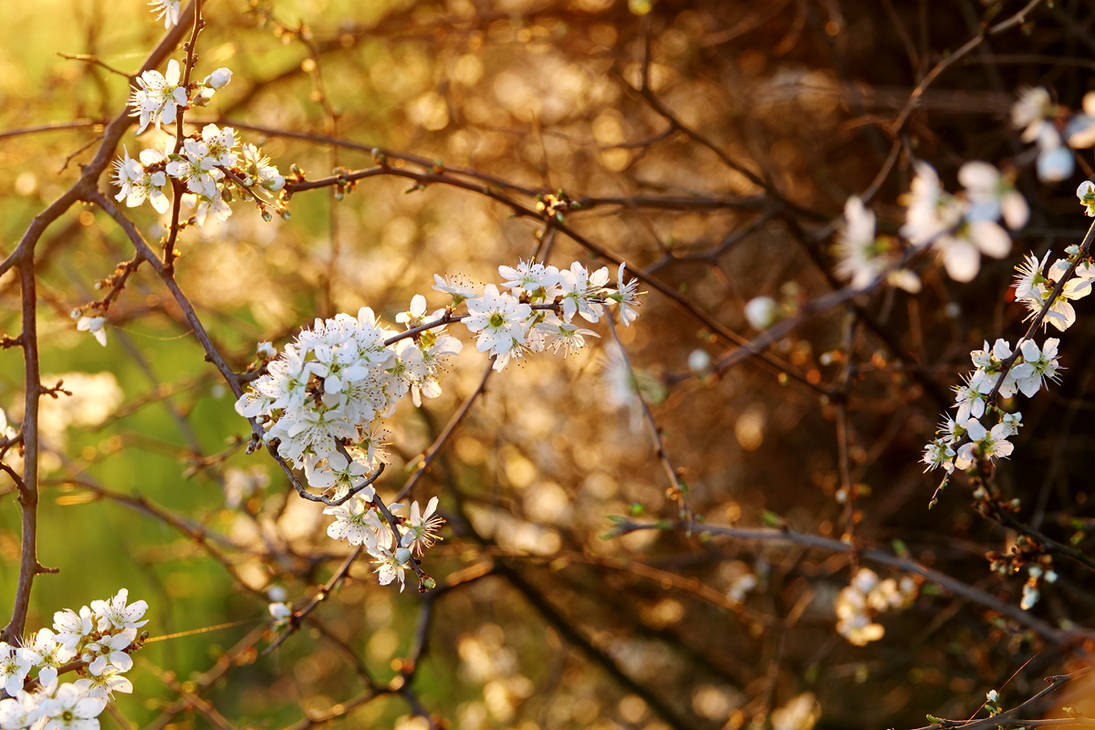 Blackthorn, white flowers I by rosaarvensis