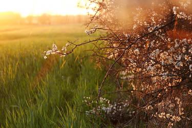 Blackthorn, white flowers II by rosaarvensis