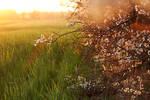 Blackthorn, white flowers II