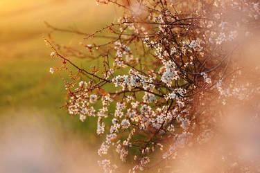 Blackthorn, white flowers IV by rosaarvensis