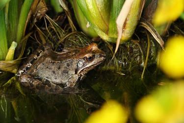 Frog in a garden pond I by rosaarvensis