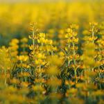 Yellow lupin I