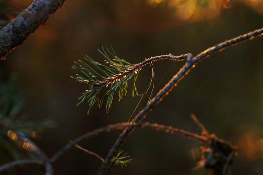 Pine twig illuminated