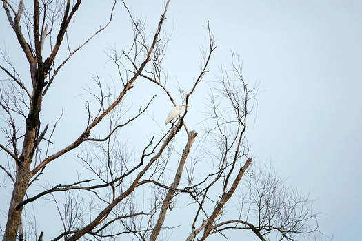 Great egret on the dead tree