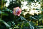 Not a rose garden II
