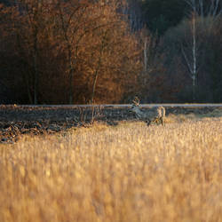 Evening field crossing
