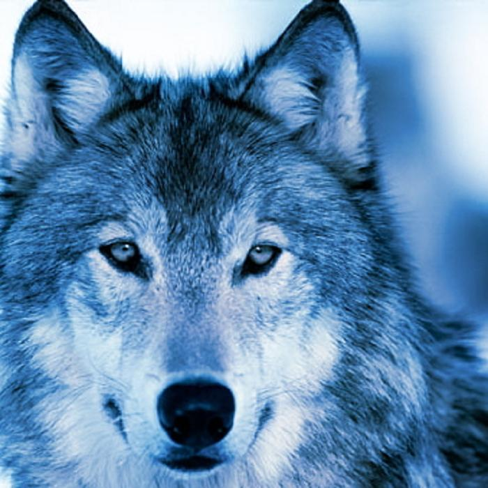 White And Blue Wolf Blue Wolf by Inu Samui