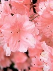 Pinky flower