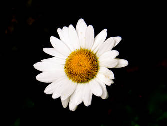 Dark Daisy II by Beccadinasour