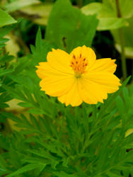 Yellow burst by Beccadinasour
