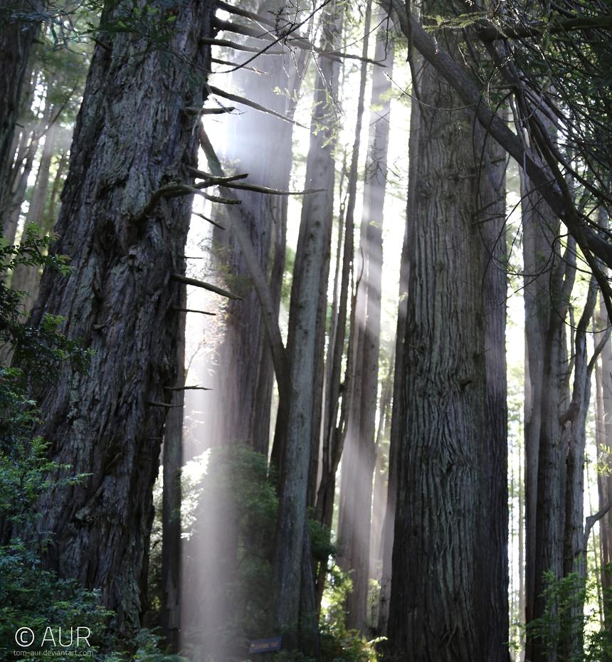Redwood Light by A-U-R