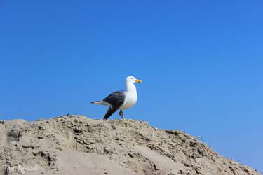 Staring Seagull