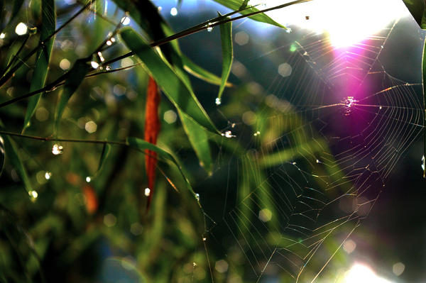 Spider web and morning dew
