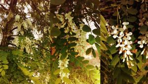 Blossoming acacia