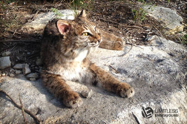 Sabertooth Bobcat Soft Mount SOLD by LimitlessEndeavours
