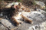 Sabertooth Bobcat Soft Mount SOLD
