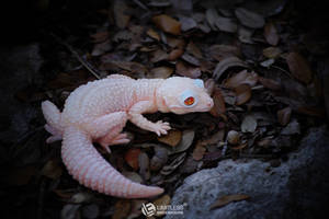 Tremper Albino Leopard Gecko Magnet by LimitlessEndeavours