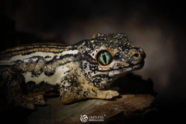 Super Stripe Gargoyle Gecko Magnet