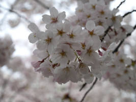 Cherry Blossoms, Close Up by yume-ryuu