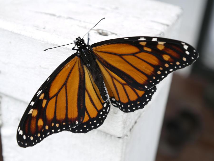 The Monarch by yume-ryuu
