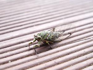 A Resting Cicada