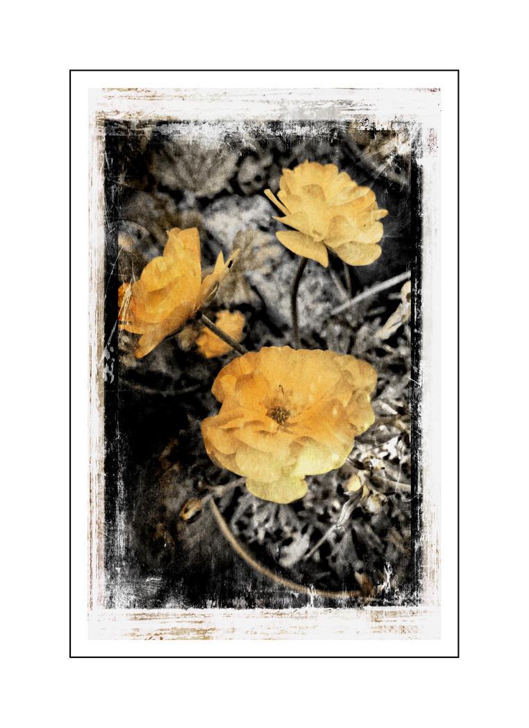 Ranunculus acris - buttercup by Mytana