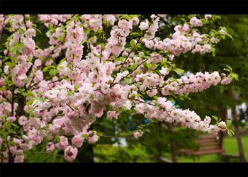 Almond tree by Ranavern