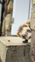 Ferret Hide and seek