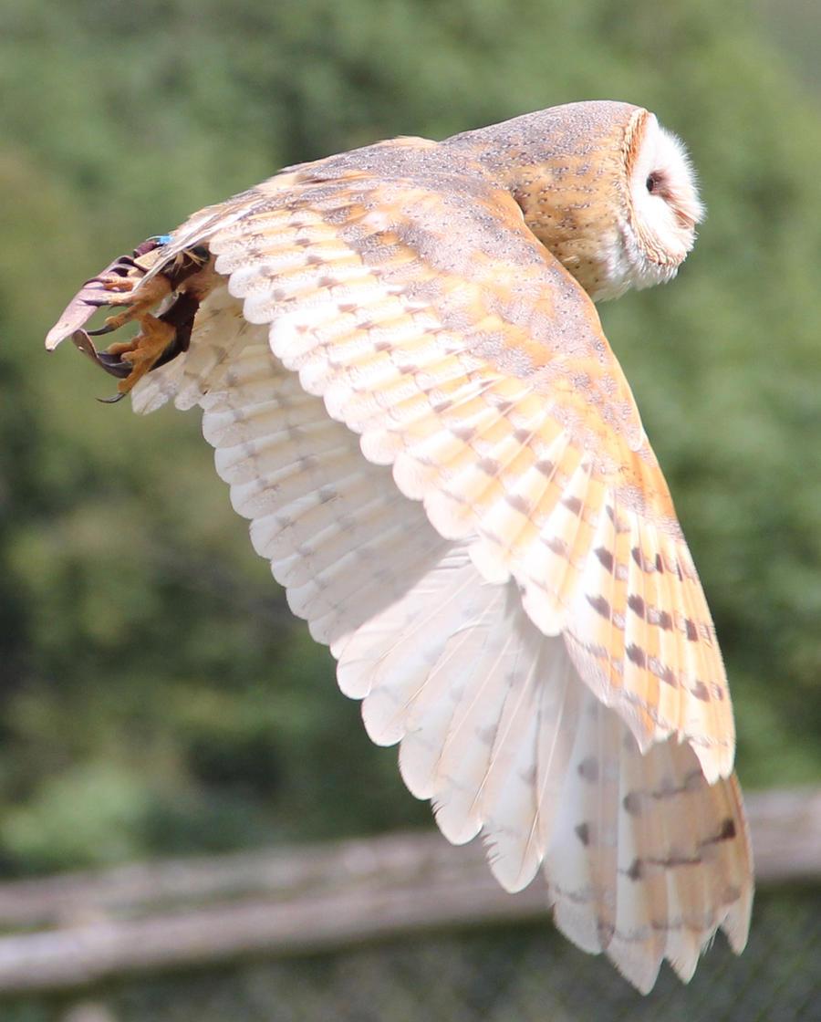 Barn Owl 4 by Chocomix-Stock