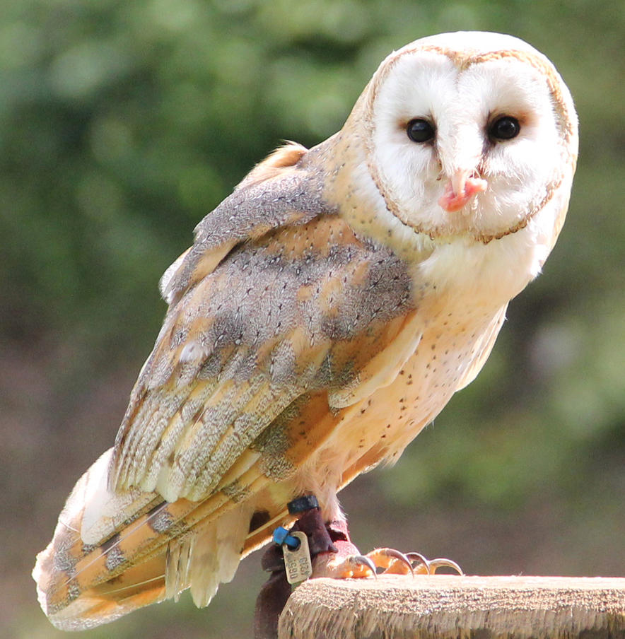 Barn Owl 11 by Chocomix-Stock
