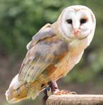 Barn Owl 11