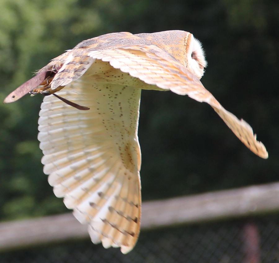 Barn Owl 14 by Chocomix-Stock