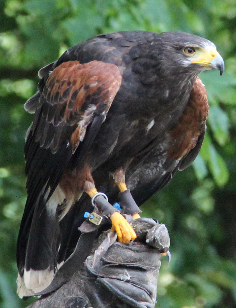 Harris Hawk 9 by Chocomix-Stock
