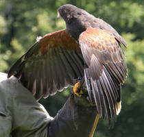 Harris Hawk 11 by Chocomix-Stock