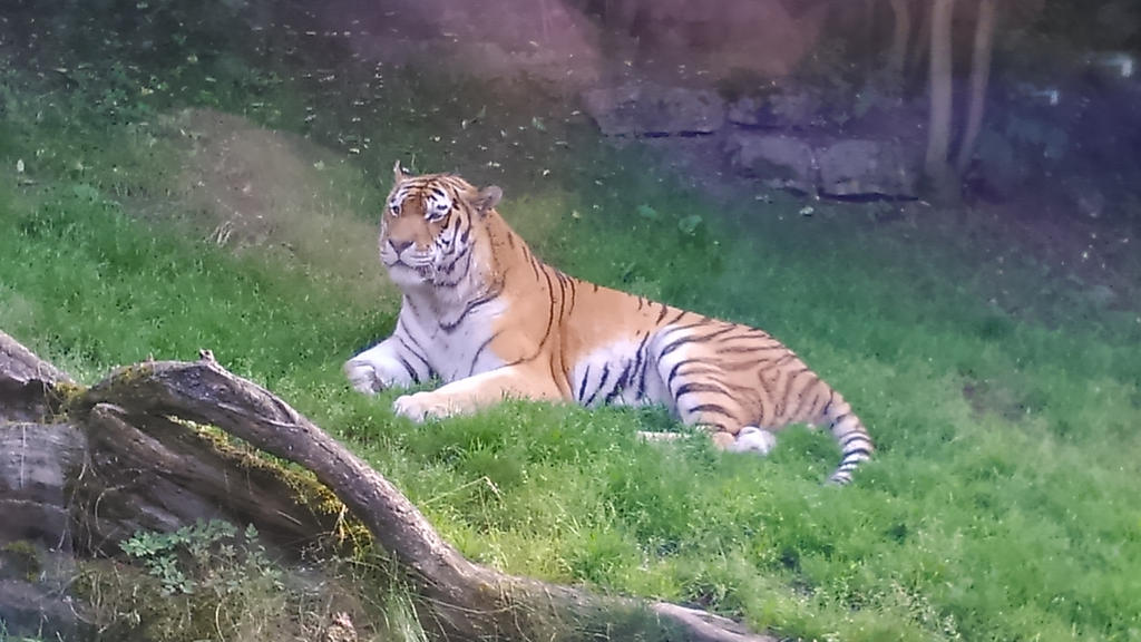 Tiger-Just look how handsome I am! by ZalyHeartlessTigress ...